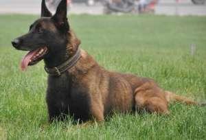 如何调教比利时马犬幼犬 马犬的训练方法